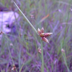 Inflorescences: Schoenoplectus purshianus. ~ By Arthur Haines. ~ Copyright © 2020. ~ arthurhaines[at]wildblue.net