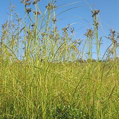 Plant form: Scirpus atrocinctus. ~ By Marilee Lovit. ~ Copyright © 2021 Marilee Lovit. ~ lovitm[at]gmail.com