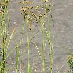 Plant form: Scirpus cyperinus. ~ By Arieh Tal. ~ Copyright © 2020 Arieh Tal. ~ www.nttlphoto.com ~ Arieh Tal - www.nttlphoto.com