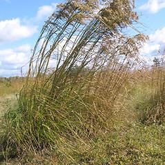 Plant form: Scirpus cyperinus. ~ By Marilee Lovit. ~ Copyright © 2020 Marilee Lovit. ~ lovitm[at]gmail.com