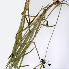 Plant form: Scirpus hattorianus. ~ By CONN Herbarium. ~ Copyright © 2020 CONN Herbarium. ~ Requests for image use not currently accepted by copyright holder ~ U. of Connecticut Herbarium - bgbaseserver.eeb.uconn.edu/