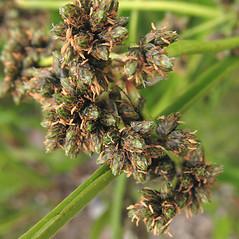 Flowers and fruits: Scirpus microcarpus. ~ By Marilee Lovit. ~ Copyright © 2020 Marilee Lovit. ~ lovitm[at]gmail.com
