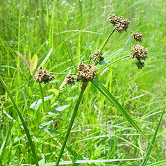 Plant form: Scirpus microcarpus. ~ By Arthur Haines. ~ Copyright © 2021. ~ arthurhaines[at]wildblue.net