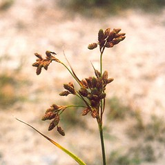 Inflorescences: Scirpus pendulus. ~ By Arthur Haines. ~ Copyright © 2020. ~ arthurhaines[at]wildblue.net