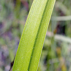 Leaves and auricles: Scirpus pendulus. ~ By Keir Morse. ~ Copyright © 2021 Keir Morse. ~ www.keiriosity.com ~ www.keiriosity.com