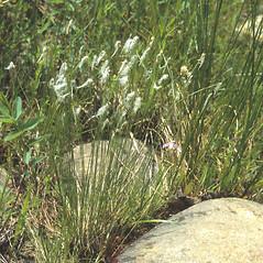 Plant form: Trichophorum alpinum. ~ By C. Barre Hellquist. ~ Copyright © 2020 C. Barre Hellquist. ~ C.Barre.Hellquist[at]mcla.edu ~ U. of New Hampshire