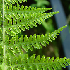 Sori: Dennstaedtia punctilobula. ~ By Arthur Haines. ~ Copyright © 2021 Arthur Haines. ~ arthur.d.haines[at]gmail.com