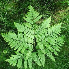 Plant form: Pteridium aquilinum. ~ By Donna Kausen. ~ Copyright © 2021 Donna Kausen. ~ 33 Bears Den, Addison, ME 04606