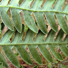 Detail of leaf and/or divisions: Pteridium aquilinum. ~ By Donna Kausen. ~ Copyright © 2020 Donna Kausen. ~ 33 Bears Den, Addison, ME 04606