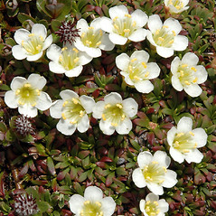 Flowers: Diapensia lapponica. ~ By Ben Kimball. ~ Copyright © 2020 Ben Kimball. ~ alpinefin[at]comcast.net