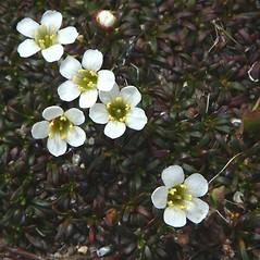Flowers: Diapensia lapponica. ~ By Mareike Conrad. ~ Copyright © 2021 Mareike Conrad. ~ mareike.conrad[at]googlemail.com