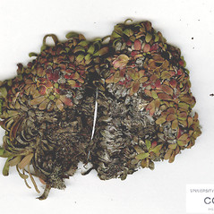 Winter buds: Diapensia lapponica. ~ By CONN Herbarium. ~ Copyright © 2020 CONN Herbarium. ~ Requests for image use not currently accepted by copyright holder ~ U. of Connecticut Herbarium - bgbaseserver.eeb.uconn.edu/