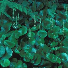 Plant form: Galax urceolata. ~ By William Cullina. ~ Copyright © 2019 William Cullina. ~ bill[at]williamcullina.com