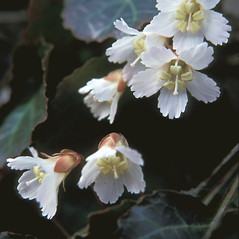 Flowers: Shortia galacifolia. ~ By Adelaide Pratt. ~ Copyright © 2020 New England Wild Flower Society. ~ Image Request, images[at]newenglandwild.org