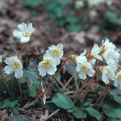 Flowers: Shortia galacifolia. ~ By Jean Buermeyer. ~ Copyright © 2020 New England Wild Flower Society. ~ Image Request, images[at]newenglandwild.org