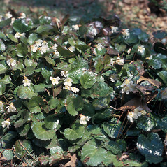 Plant form: Shortia galacifolia. ~ By Jean Baxter. ~ Copyright © 2020 New England Wild Flower Society. ~ Image Request, images[at]newenglandwild.org
