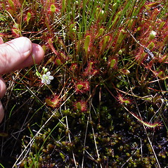 Flowers: Drosera anglica. ~ By Donald Cameron. ~ Copyright © 2021 Donald Cameron. ~ No permission needed for non-commercial uses, with proper credit