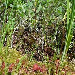 Additional features: Drosera rotundifolia. ~ By Glen Mittelhauser. ~ Copyright © 2020 Glen Mittelhauser. ~ www.mainenaturalhistory.org
