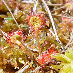Leaves: Drosera rotundifolia. ~ By Arthur Haines. ~ Copyright © 2020. ~ arthurhaines[at]wildblue.net