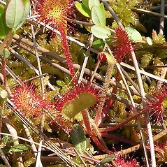 Stems: Drosera rotundifolia. ~ By Douglas McGrady. ~ Copyright © 2020 Douglas McGrady. ~ demcgrady[at]hotmail.com