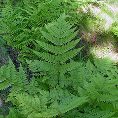 Plant form: Dryopteris campyloptera. ~ By Arthur Haines. ~ Copyright © 2020. ~ arthurhaines[at]wildblue.net