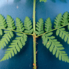 Detail of leaf and/or divisions: Dryopteris campyloptera. ~ By Arthur Haines. ~ Copyright © 2020. ~ arthurhaines[at]wildblue.net