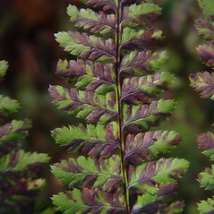 Detail of leaf and/or divisions: Dryopteris campyloptera. ~ By Donald Cameron. ~ Copyright © 2020 Donald Cameron. ~ No permission needed for non-commercial uses, with proper credit