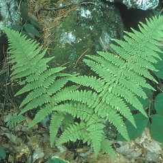 Plant form: Dryopteris carthusiana. ~ By Frank Bramley. ~ Copyright © 2020 New England Wild Flower Society. ~ Image Request, images[at]newenglandwild.org