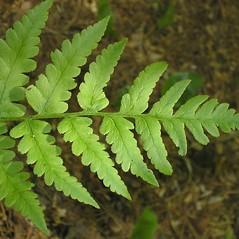 Leaf: Dryopteris clintoniana. ~ By Bruce Patterson. ~ Copyright © 2021 Bruce Patterson. ~ foxpatterson[at]comcast.net