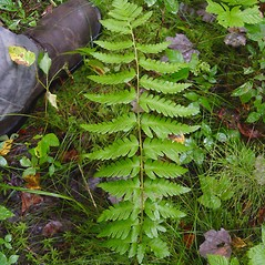 Plant form: Dryopteris cristata. ~ By Donald Cameron. ~ Copyright © 2021 Donald Cameron. ~ No permission needed for non-commercial uses, with proper credit