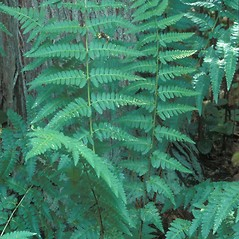 Plant form: Dryopteris cristata. ~ By William Cullina. ~ Copyright © 2021 William Cullina. ~ bill[at]williamcullina.com