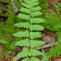 Leaf: Dryopteris cristata. ~ By Arthur Haines. ~ Copyright © 2021. ~ arthurhaines[at]wildblue.net