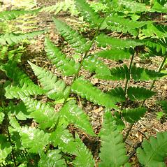 Leaf: Dryopteris cristata. ~ By Glen Mittelhauser. ~ Copyright © 2021 Glen Mittelhauser. ~ www.mainenaturalhistory.org