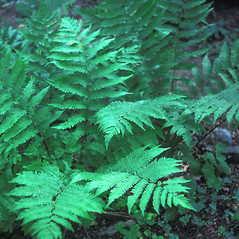 Plant form: Dryopteris filix-mas. ~ By Lawrence Newcomb. ~ Copyright © 2021 New England Wild Flower Society. ~ Image Request, images[at]newenglandwild.org