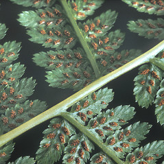 Detail of leaf and/or divisions: Dryopteris filix-mas. ~ By Adelaide Pratt. ~ Copyright © 2021 New England Wild Flower Society. ~ Image Request, images[at]newenglandwild.org