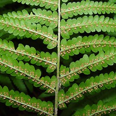 Sori: Dryopteris filix-mas. ~ By Arthur Haines. ~ Copyright © 2021. ~ arthurhaines[at]wildblue.net
