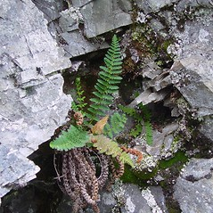 Plant form: Dryopteris fragrans. ~ By Arthur Haines. ~ Copyright © 2021. ~ arthurhaines[at]wildblue.net