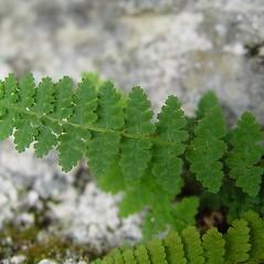 Leaf: Dryopteris fragrans. ~ By Arthur Haines. ~ Copyright © 2021 Arthur Haines. ~ arthur.d.haines[at]gmail.com