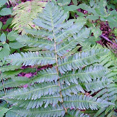 Leaf: Dryopteris goldiana. ~ By Arthur Haines. ~ Copyright © 2021. ~ arthurhaines[at]wildblue.net