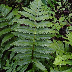 Leaf: Dryopteris goldiana. ~ By Donald Cameron. ~ Copyright © 2021 Donald Cameron. ~ No permission needed for non-commercial uses, with proper credit