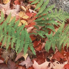 Plant form: Dryopteris marginalis. ~ By Frank Bramley. ~ Copyright © 2021 New England Wild Flower Society. ~ Image Request, images[at]newenglandwild.org