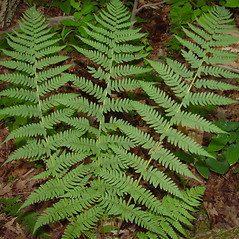Leaf: Dryopteris marginalis. ~ By Arthur Haines. ~ Copyright © 2020. ~ arthurhaines[at]wildblue.net