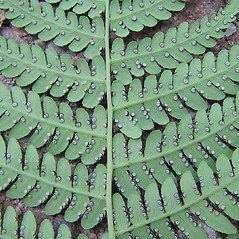 Sori: Dryopteris marginalis. ~ By Arthur Haines. ~ Copyright © 2021. ~ arthurhaines[at]wildblue.net