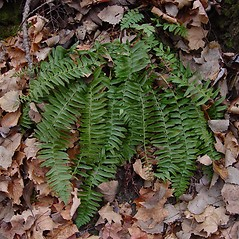 Plant form: Polystichum acrostichoides. ~ By Donald Cameron. ~ Copyright © 2020 Donald Cameron. ~ No permission needed for non-commercial uses, with proper credit