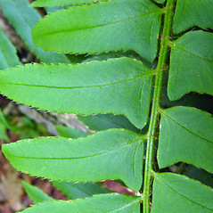 Detail of leaf and/or divisions: Polystichum acrostichoides. ~ By Donna Kausen. ~ Copyright © 2020 Donna Kausen. ~ 33 Bears Den, Addison, ME 04606