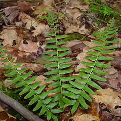 Leaf: Polystichum acrostichoides. ~ By Arthur Haines. ~ Copyright © 2021. ~ arthurhaines[at]wildblue.net