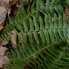 Leaf: Polystichum acrostichoides. ~ By Donald Cameron. ~ Copyright © 2020 Donald Cameron. ~ No permission needed for non-commercial uses, with proper credit