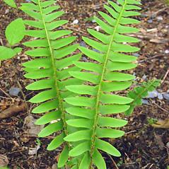 Leaf: Polystichum acrostichoides. ~ By Glen Mittelhauser. ~ Copyright © 2021 Glen Mittelhauser. ~ www.mainenaturalhistory.org