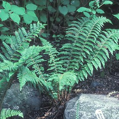Plant form: Polystichum braunii. ~ By Dorothy Long. ~ Copyright © 2021 New England Wild Flower Society. ~ Image Request, images[at]newenglandwild.org