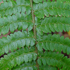 Detail of leaf and/or divisions: Polystichum braunii. ~ By Arthur Haines. ~ Copyright © 2021. ~ arthurhaines[at]wildblue.net
